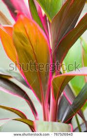 ti plant cordyline leaves cordyline fruticosa cordyline terminalis stock