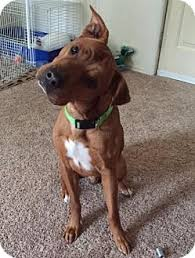 american pitbull terrier kennels in michigan rocky adopted dog grand rapids mi shar pei pit bull terrier mix