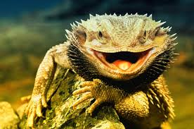 13 bearded dragon facts