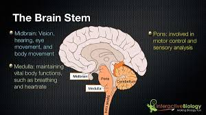 Brain Stem Anatomy 027 The 3 Parts Of The Brain Stem And Their Functions