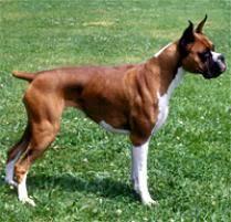 boxer dog european adopt a boxer dog breeds petfinder
