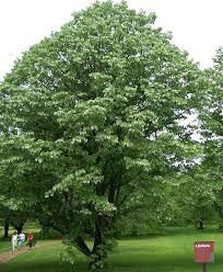 Trees Plants And Flowers - tilia wikipedia