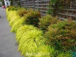 best 25 ornamental grasses for shade ideas on grasses