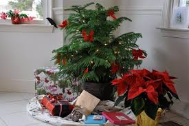 no room for a christmas tree try a norfolk island pine