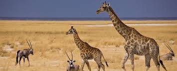 where to go in africa to see giraffe go2africa com