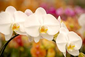 Flower Of Orchid - 7 steps to rebloom orchids by matsui nursery orchid care