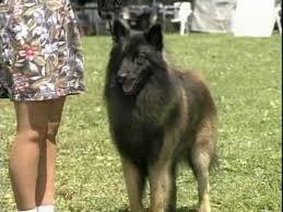 belgian sheepdog trials belgian sheepdog youtube