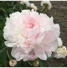 peonies for sale 35 best white peonies images on white peonies peony