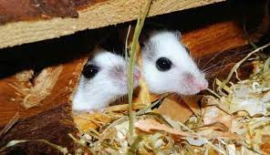 Are Mice Blind How Long Can Mice Live Without Food And Water Termites Blog