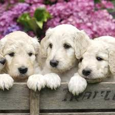 novi mi home depot store hours for black friday specials dogs u0026 puppies for sale in troy michigan the family puppy