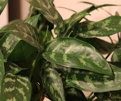 this is an aglaonema