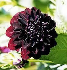 dalia in vaso 209 best dalias são flores images on gardening