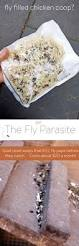 fly parasites using parasitic wasps to get rid of flies fly