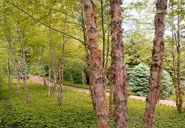 river birch tree river birch tree birches rivers