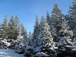 christmas tree with snow the history of the christmas tree farm and where to find the