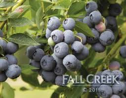 23 best blueberries images on blueberries nurseries