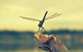 dragonfly pictures wallpapers 49 wallpapers u2013 hd wallpapers