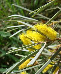 desert native plants mulga true mulga acacia aneura a shrub or small tree native to