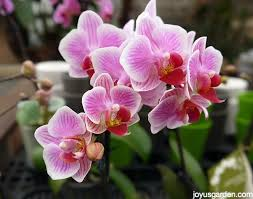 how to care for your beautiful phalaenopsis orchid
