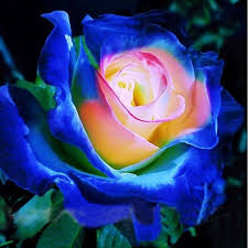rare blue pink yellow rose bush flower seeds professional pack