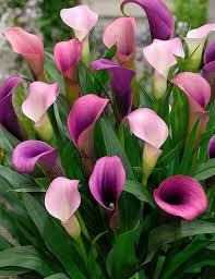 calla lilies pasja calla 73173