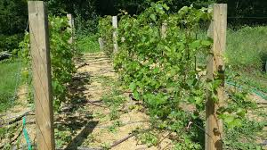 bleeding grape vines pruned in spring fixed this is big mary