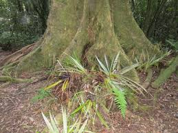 native plants of nz new zealand native plants u2013 perching tree lily movin2newzealand
