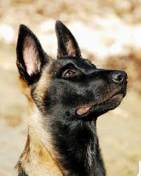 belgian shepherd dog temperament 822 best belgian malinois images on pinterest belgium malinois
