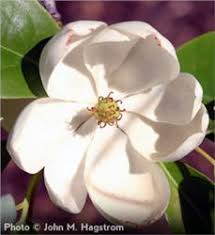 sweetbay magnolia tree on the tree guide at arborday org