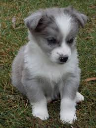 australian shepherd lab mix puppy best 25 corgi beagle mix ideas on pinterest corgi mix puppies