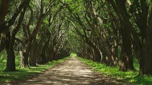 Louisiana scenery images Awesome tree shadow driveway to epic oak alley trees landmark png