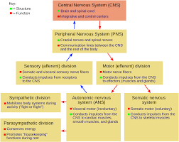 Controlling Definition by Nervous System Wikipedia