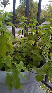 How To Plant Vegetables In A Garden by How To Grow Mint In A Pot With Pictures Wikihow