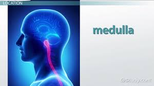 What Is The Main Function Of The Medulla Oblongata What Is The Medulla Definition Function U0026 Location Video