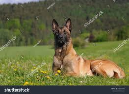 belgian shepherd nature young malinois dog 1 year belgian stock photo 102458090 shutterstock