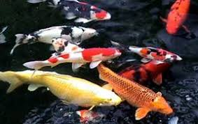 How To Make A Koi Pond In Your Backyard by How To Build And Maintain A Proper Koi Pond