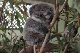 psbattle small fuzzy koala photoshopbattles