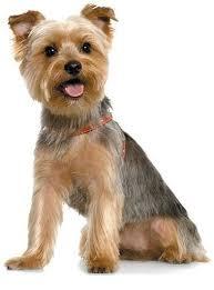 silky terrier with haircut short yorkie haircut with teddy bear head yorkshire terrier pet