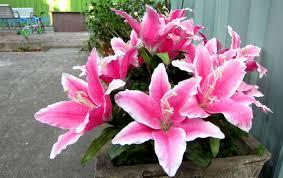 blooming flowers beautiful pink flower wallpapers desktop