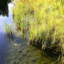 native uk plants we develop a large number of british native aquatic plants