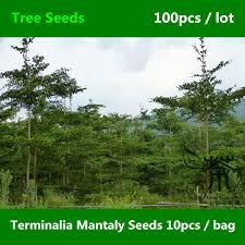 aliexpress buy ornamental tree terminalia mantaly seeds