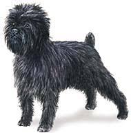 affenpinscher coat type affenpinscher dog breed toy group the fine canine