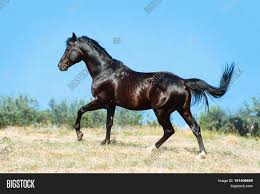 Black Horse Mustang Beautiful Black Horse Galloping On A Background Of Blue Sky Black