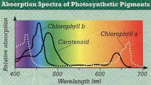 the absorption of light by photosynthetic pigments worksheet answers photosynthesis notes