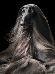 weimaraner vs afghan hound more than human renowned photographer tim flach blurs the lines