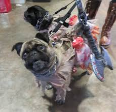 Zombie Dog Halloween Costume Don U0027t Cute Pugs Halloween Costumes Talent Hounds