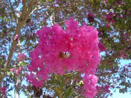 file pink tree flowers 2 jpg wikimedia commons