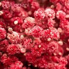 Baby S Breath Wholesale Crimson Baby U0027s Breath