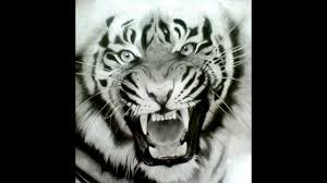 how to draw siberian tiger face drawing step by step youtube