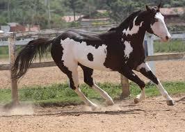 683 best paint horses images on pinterest american paint horse